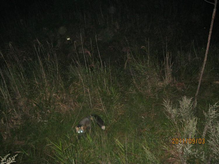 夜色中,草丛里,那一对如灯似炬的眼睛----震颤人心! (组图) - ufoetufo - 莲池佛地